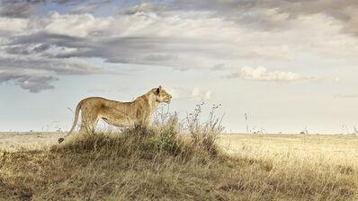 David Burdeny, 'Lioness in repose, Maasai Mara, Kenya, Africa', 2019