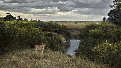 David Burdeny, 'One Eyed Lion, Maasai Mara, Kenya', 2018