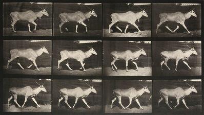 Eadweard Muybridge, 'Animal Locomotion: Plate 696 (Eland Walking)', 1887
