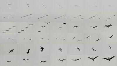 Matthew Chase-Daniel, 'Pelicans, Point Lobos, California', 2014