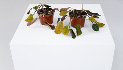 Tony Matelli, 'On the Ropes (2 Dead Prayer Plants)', 2006