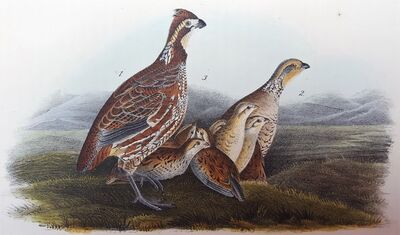 John James Audubon, 'Common American Partridge', 1840-1844