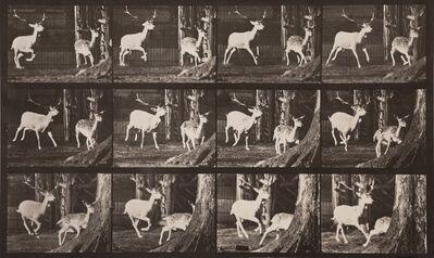 Eadweard Muybridge, 'Animal Locomotion, Plat 686 (Deer)', 1887