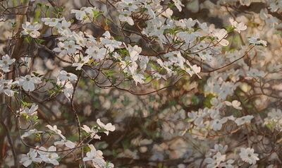 Jeffrey Vaughn, 'Flowering Dogwood', 2018