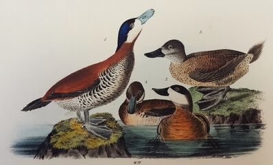 John James Audubon, 'Ruddy Duck', 1840-1844