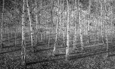 Roy Wright, 'Silver Birch Forest '
