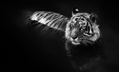 David Yarrow, 'The Killer', 2013