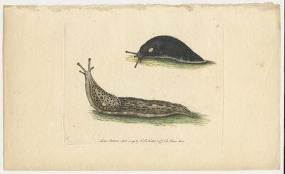 Frederick Polydore Nodder, 'Mollusks', 1793