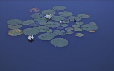 Gustavo Ten Hoever, 'Waterlillies', 2010