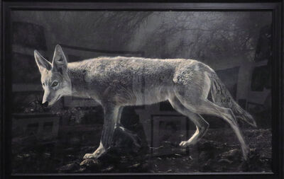 Kate Breakey, 'Coyote, 8:38 pm, April 17, 2011', 2011