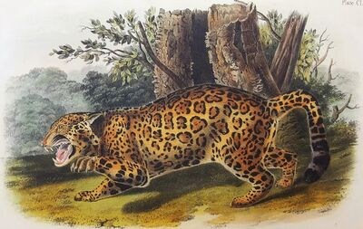John James Audubon, 'The Jaguar', 1849-1854