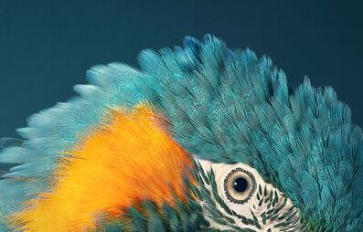 Tim Flach, 'Blue Throated Macaw', ca. 2016