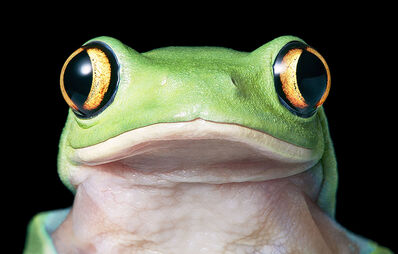 Tim Flach, 'Yellow Tree Frog', ca. 2016