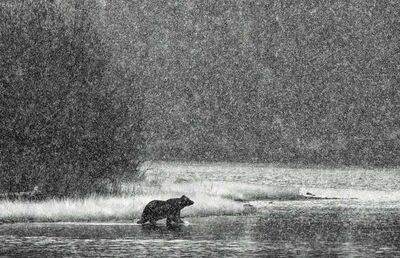 Paul Nicklen, 'Path of the Grizzly', 2012