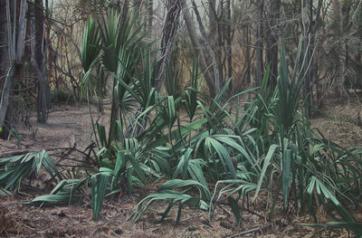 Garrett Middaugh, 'Gathering of Palmettos'