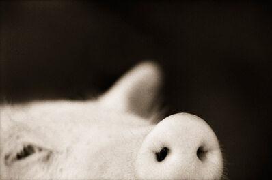 Henry Horenstein, 'Domestic Pig (Sus scrofa domestica)', ca. 1995-2001