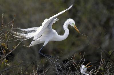 Larry Garmezy, 'Home Renovation - Egrets / wildlife photography, birds nesting along Texas Gulf Coast', 2019