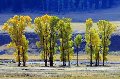 Larry Garmezy, 'Standing Tall in Lamar Valley - Fall foliage, trees, Yellowstone landscape, Fall colors, in yellow green and blue', 2016