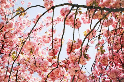 Susan Wides, 'Cherry Blossom 2', 2002