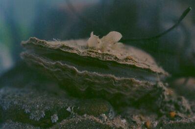 Margaret Salmon, 'Oyster', 2014