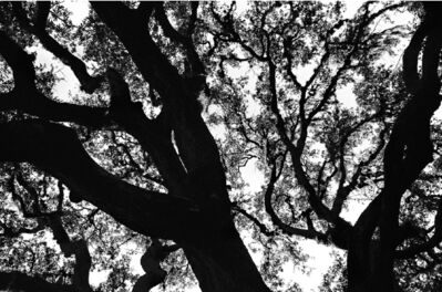 Patrick Linehan, 'Tree Forms - Florida #6'