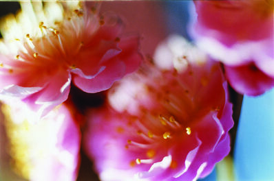 Mika Ninagawa, 'Acid Bloom', 2003