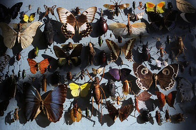 David Bailey, 'Bailey's Butterflies', 2007