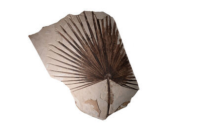 Eocene, 'Fossilised Palm Frond', ca. 55000000 BCE