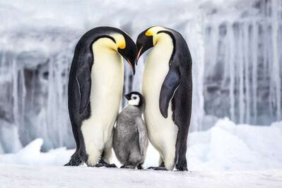 Paul Nicklen, 'Parenthood', 2011