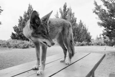 Mimi Plumb, 'Coyote at the Park', 1976