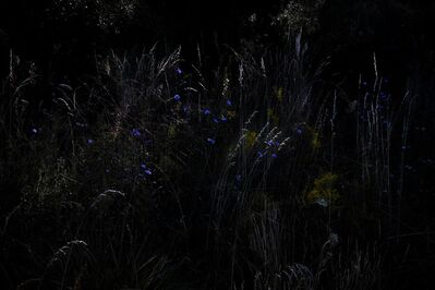 Elspeth Diederix, 'Chicory field', 2015