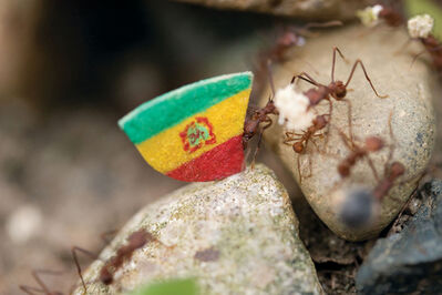 Donna Conlon, 'Coexistence (ant with Bolivian flag)', 2008