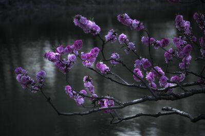 Shen Wei 沈玮, 'Cherry Blossoms', 2015