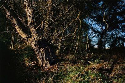 Justin Partyka, 'Crack Willow, Suffolk', 2011