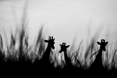 Kristi Odom, 'Giraffes in Tall Grass ', 2019