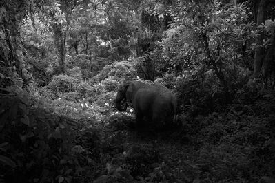 Robert Zhao Renhui, 'Elephant That Has No Tusk, from the series A Guide to the Flora and Fauna of the World', 2013