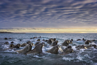 Paul Nicklen, 'Tusked Titans', 2007