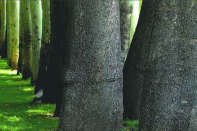 Abbas Kiarostami, 'Trees & Crows 20', 2007