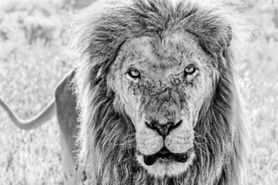 David Yarrow, 'Scarface', 2020