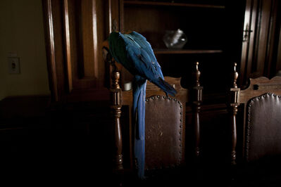 João Castilho, 'Arara (from the series Zoo) - [Parrot]', 2014