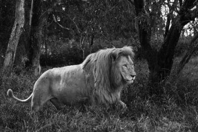 Araquém Alcântara, 'Lion, Tanzania, Africa (Black and White Photography)', 2011