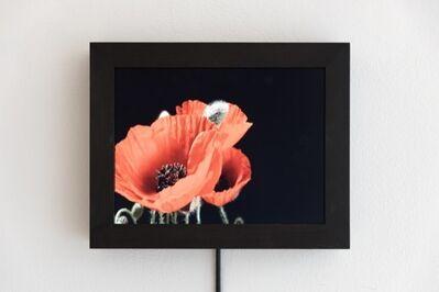 Eva Koch, 'Red Poppy #1', 2015
