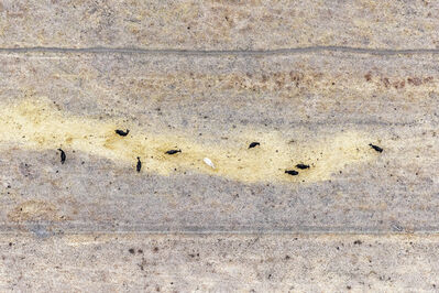 """Zoe Wetherall, '""""Line of Cows"""" Contemporary Abstract Aerial Landscape (Color Photograph)', 2019"""