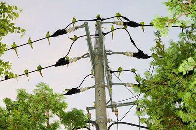 Yoshinori Mizutani, 'Tokyo Parrots 008', 2013