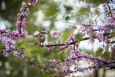 "Carolyn Monastra, '""White-throated Sparrow""', 2015"