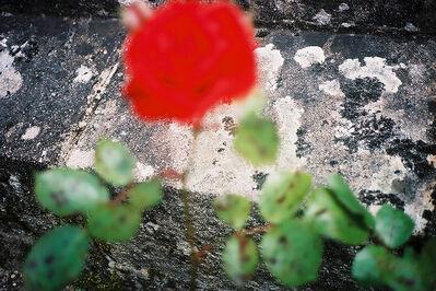Robin Siegel, 'A rose grows', 2013