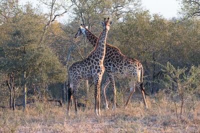 E.A. Kahane, 'Pair of Giraffes', 2017