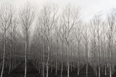 Betsy Weis, 'Trees in Rows', 2015