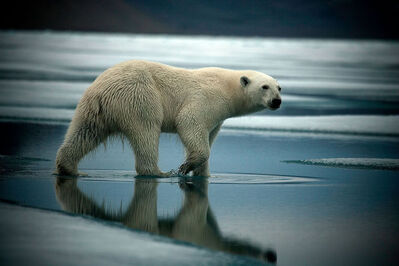 Sebastian Copeland, 'Bear Three', 2008