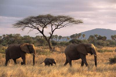 James Warwick, 'African elephant family on the move at dusk and acacia tree, Samburu National Reserve, Kenya', 2015